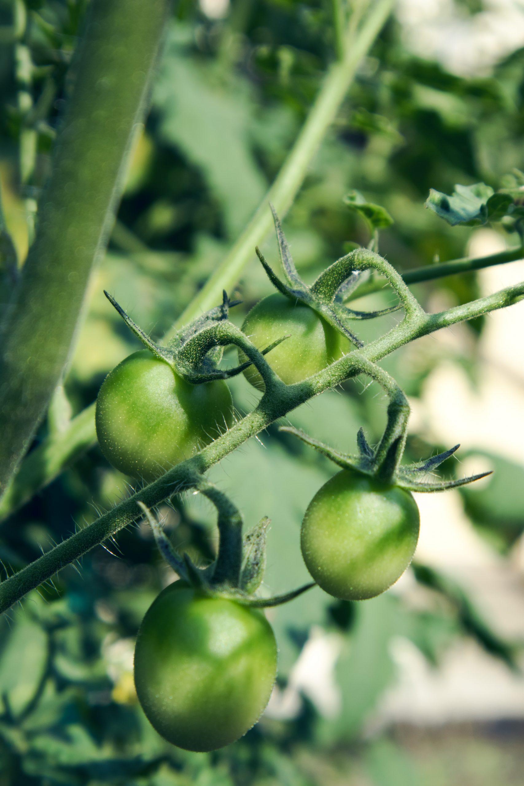 cherry-tomatoes-1496271